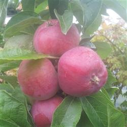 søde kirsbær træ