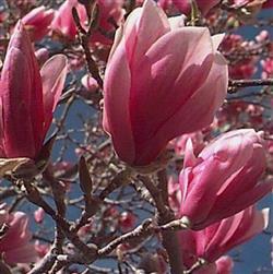 Magnolia soulangiane